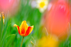 Beautiful Multicolored Tulip Flower in Bright Spring Field Stock Image