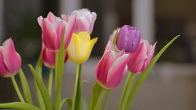 Beautiful multicolored tulips bloom indoor stock footage