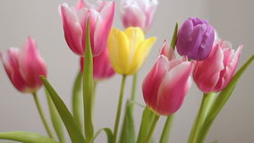 Beautiful multicolored tulips bloom isolated stock video
