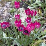 Beautiful wild pink tulips. Spring flowers. Stock Image