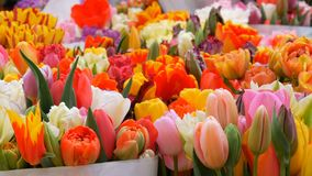 Beautiful multicolored variety of tulips in a large bouquet on flower market of Amsterdam, the Netherlands. Tulip symbol. Beautiful multicolored variety of stock video footage