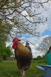Beautiful  multicolored feathered rooster in a garden. Beautiful  multicoloured feathered rooster in a big garden Royalty Free Stock Photo