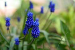 Beautiful Muscari Flowers in the Home Garden. Beautiful Muscari Flowers stock photography