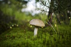 Beautiful mushroom Royalty Free Stock Photo