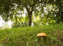 A beautiful mushroom under a green tree in a Dutch forest stock photo