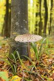 Beautiful mushroom under a tree in the autumn in the forest Stock Photography