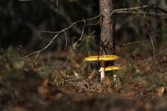 Beautiful mushrooms grow in the autumn forest. Stock Photography