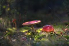 Beautiful mushrooms grow in the autumn forest. Stock Images