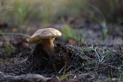 Beautiful mushrooms grow in the autumn forest. Stock Image