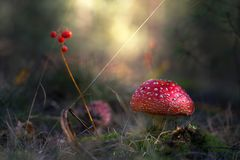 Beautiful mushrooms grow in the autumn forest. Royalty Free Stock Image