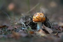 Beautiful mushrooms grow in the autumn forest. Stock Photo