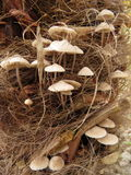 Beautiful mushrooms growing on the trunk of my Dutch palm tree Royalty Free Stock Images