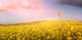 Beautiful mustard field Royalty Free Stock Photos