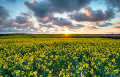 Beautiful Mustard Seed Fields Royalty Free Stock Image