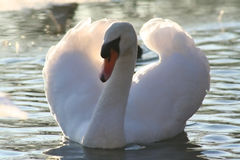 Beautiful mute swan. At sunset in wintertime stock images