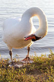 Beautiful mute swan is cleaning his feathers on the shore of the lake Stock Photos