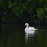Beautiful mute swan cygnus olor with cygnet on back gliding acro Royalty Free Stock Photos