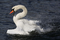 A beautiful Mute swan Cygnus olor having a splash about in a lake sending water droplets everywhere. Royalty Free Stock Image