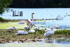 Beautiful mute swan flapping wings standing in a wild environment royalty free stock images