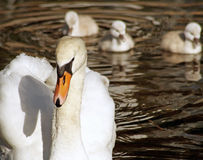Beautiful Mute Swan with her young babies following close behind Royalty Free Stock Image