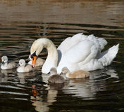 Beautiful Mute Swan with her 5 young babies swimming together on calm waters royalty free stock image