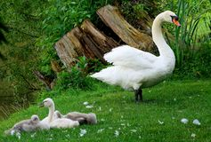 Mute Swan With Her Cygnets stock images