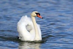 Beautiful Mute Swan Stock Photo