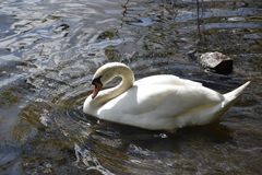 Beautiful mute swan. A white swan swimming in the water, in its stately pose stock photo