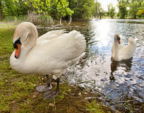 Beautiful mute swans Royalty Free Stock Photography