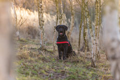 Beautiful mutt black dog Amy in forest Stock Photo