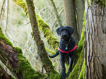 Beautiful mutt black dog Amy in forest Stock Photography