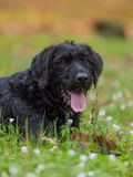 Beautiful mutt black dog Amy in forest Royalty Free Stock Photos