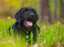Beautiful mutt black dog Amy in forest Stock Photos