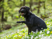 Beautiful mutt black dog Amy in forest Royalty Free Stock Image