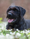 Beautiful mutt black dog Amy in forest hut Royalty Free Stock Images