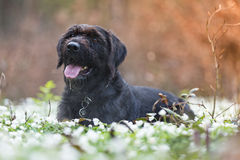 Beautiful mutt black dog Amy in forest hut Royalty Free Stock Image