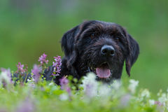 Beautiful mutt black dog Amy in forest hut Stock Photo