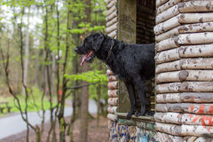 Beautiful mutt black dog Amy in forest hut Stock Image