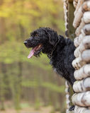 Beautiful mutt black dog Amy in forest hut Stock Photos