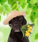 Beautiful mutt black dog Amy holding bouquet of spring flowers. Royalty Free Stock Images