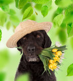 Beautiful mutt black dog Amy holding bouquet of spring flowers. Stock Photography