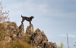 Beautiful mutt black dog Amy on mountain rock. Stock Photo