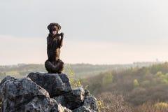 Beautiful mutt black dog Amy on mountain rock. Stock Photos