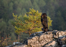Beautiful mutt black dog Amy on mountain rock. Royalty Free Stock Images