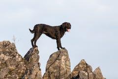 Beautiful mutt black dog Amy on mountain rock. Stock Photography