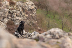Beautiful mutt black dog Amy on mountains Royalty Free Stock Photography