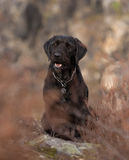 Beautiful mutt black dog Amy on mountains Royalty Free Stock Photos
