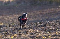 Beautiful mutt black dog Amy running Royalty Free Stock Photo