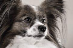 Papillon dog, close-up