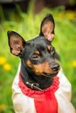 Beautiful muzzle Pincher Pinscher close up. Muzzle Pincher Pinscher dog close up in jacket Stock Photo